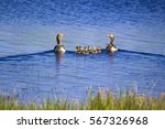 Goose Family Blue Lake...