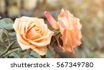 Stock photo pink roses in the garden vintage color 567349780
