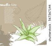 hand drawn illustration of aloe ...   Shutterstock .eps vector #567367144