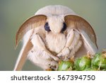 Silk Moth Portrait. White Fur...