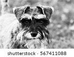 close up playful schnauzer dog... | Shutterstock . vector #567411088
