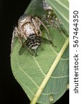 jumping spider protecting the... | Shutterstock . vector #567464350