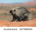 north american porcupine on a... | Shutterstock . vector #567488404