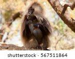 gelada baboon   simien... | Shutterstock . vector #567511864