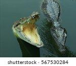 Two Freshwater Crocodiles On...