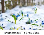Snowdrop Flower Growing From...