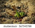 Grasshopper On The Sand