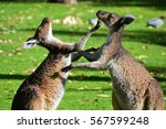 Kangaroos Fighting Near Perth ...