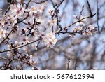 view of almond tree blooming... | Shutterstock . vector #567612994