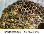 wasp nest with wasps sitting on ... | Shutterstock . vector #567626143