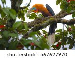 Small photo of Close up Male Rufous-necked Hornbill(Aceros nipalensis) with fruit and standing on the branch in the nature,rare bird,colourful bird,Northern Thailand
