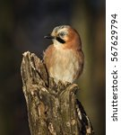 Small photo of Eurasian jay, Garrulus glandarius, sitting on a branch in nature. Wildlife. Europe, country Slovakia. Eurasian jay (Garrulus glandarius), in profile with a nice autumn colored bokeh in the background.