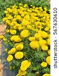 Small photo of Marigolds (Tagetes erecta, Mexican marigold, Aztec marigold, African marigold) in garden
