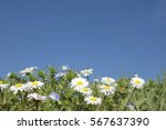 Daisies In The Foreground  Wit...