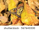Monarch Butterfly Camouflage  ...