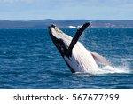 Humpback Whale Breaching ...