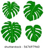 set of tropical green monstera... | Shutterstock .eps vector #567697960