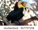 Hornbill Great Hornbill  Great...