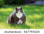 Stock photo slight obese or fat pussy cat outside in the sunny garden with fresh green grass in spring in the 567793324