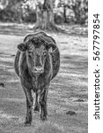 Small photo of A Black Aberdeen Angus Cow (Bos Taurus) at Pasture in Florida with an Ear Tag Number 16