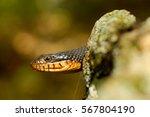 Copper Bellied Water Snake