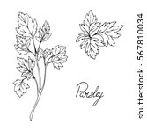 set of herbs. parsley. hand... | Shutterstock .eps vector #567810034