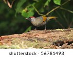 chestnut crowned laughingthrush | Shutterstock . vector #56781493
