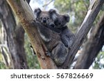 A mother koala bear with her...