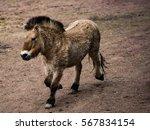 golden horse walking around   Shutterstock . vector #567834154