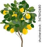small lemon tree with flowers  | Shutterstock .eps vector #567842680