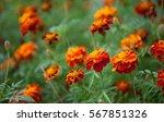 Growing Tagetes Patula Flower...