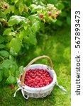 Fresh Ripe Raspberries In The...