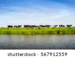 Cow Graze On Pasture By River...