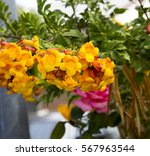 tecoma stans   yellow... | Shutterstock . vector #567963544