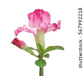Small photo of Pink adenium flower isolated on white background