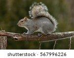 Eastern Grey Squirrel On Branc...