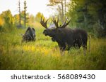 A Bull Moose Sniffs The Air For ...