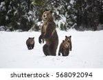 a grizzly bear sow stands up on ...   Shutterstock . vector #568092094