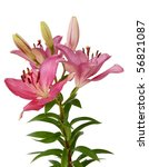 pink lily | Shutterstock . vector #56821087