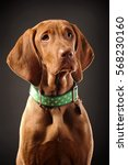young vizsla pointer dog... | Shutterstock . vector #568230160