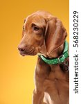 young vizsla pointer dog... | Shutterstock . vector #568230229