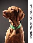 young vizsla pointer dog... | Shutterstock . vector #568230268