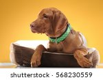 young vizsla pointer dog... | Shutterstock . vector #568230559