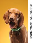 young vizsla pointer dog... | Shutterstock . vector #568230610