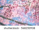 cherry blossom trees in spring  ... | Shutterstock . vector #568250938