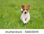 Stock photo jack russell terrier puppy weeks in the grass discovers the world 56833045