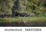 red deer and hinds walking... | Shutterstock . vector #568352806