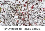 bright red berries on branches... | Shutterstock . vector #568365538