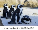 Colony Of African Penguins...