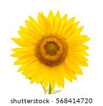 Stock photo flower of sunflower isolated on white background 568414720
